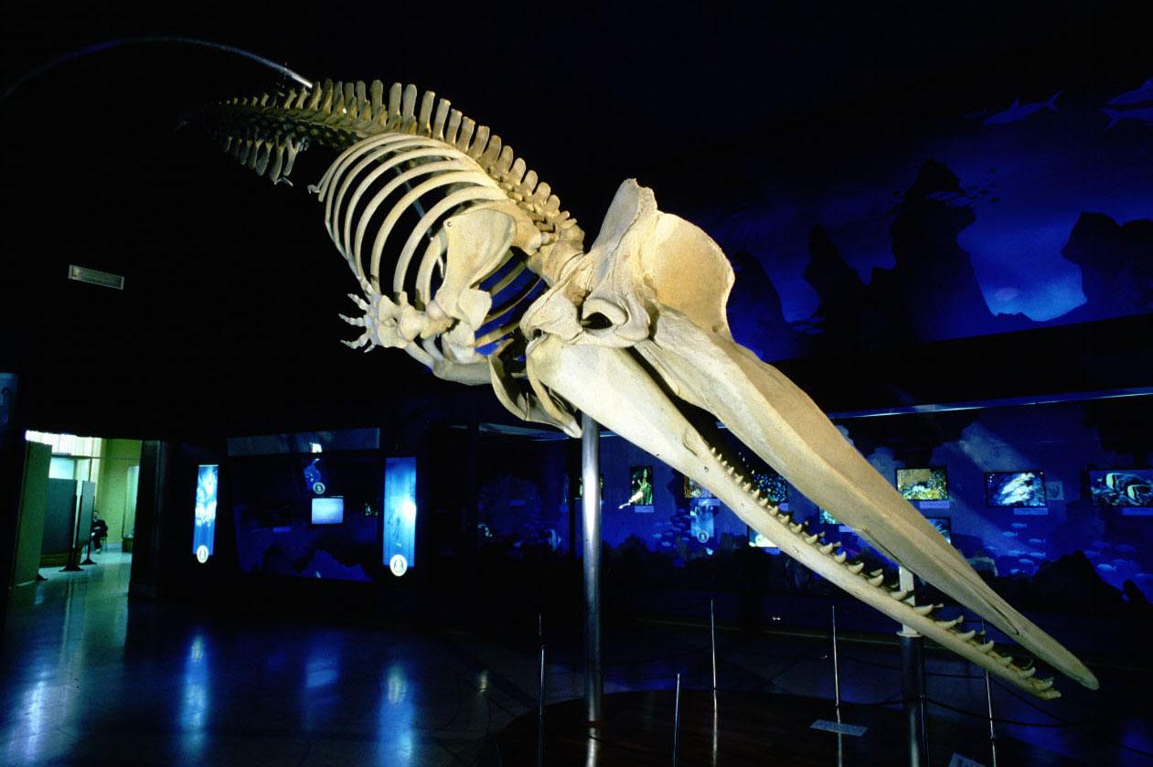 16 scheletro montato capodoglio